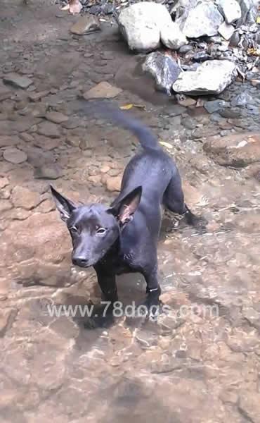 台灣原始犬