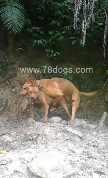 大型台灣犬